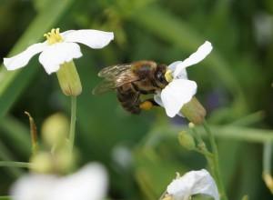 пчела за сбором пыльцы