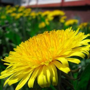 dandellion-flower