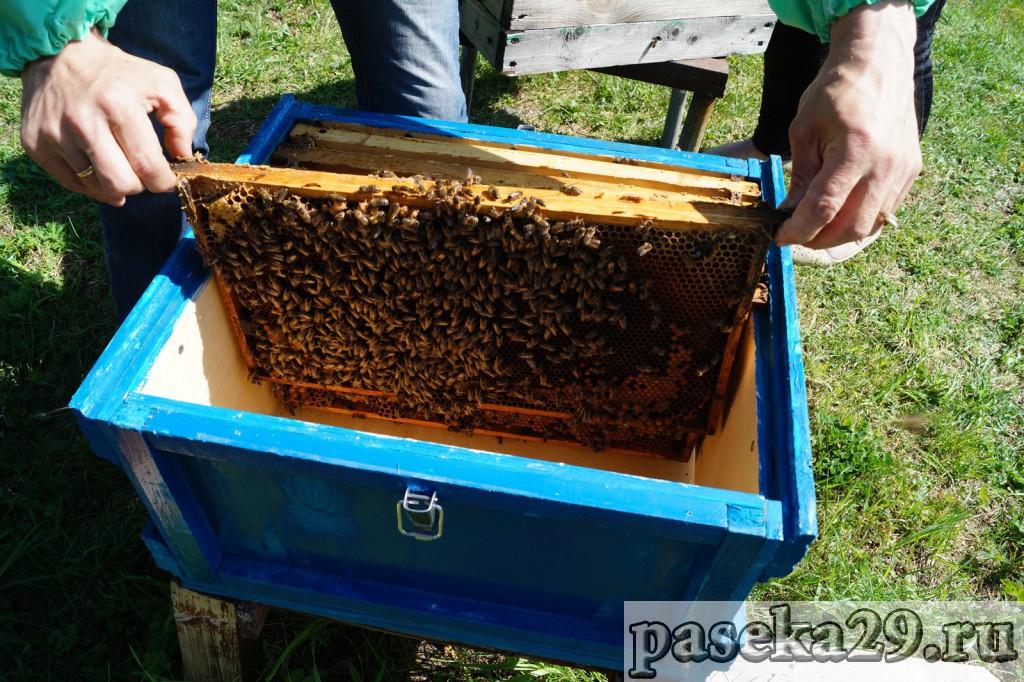 Где и как купить пчел в Архангельске?