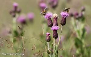 cirsium-setosum-flower_4