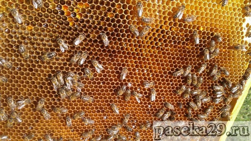Пчёлы на мёдо-перговой рамке